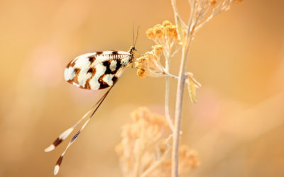 Nemoptera sinuata2